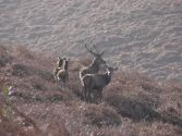 2108-jim-gulliford-a-stag-a-knot-stag-and-2-hinds-taken-very-early-one-morning