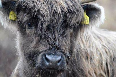 2108-linda-thompson-close-up-highland-calf