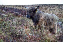 2108-linda-thompson-highland-calf-on-exmoor