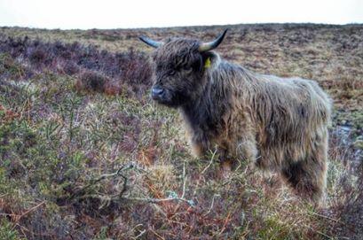 2108-linda-thompson-highland-calf-on-exmoor
