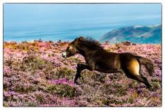 2108-liz-mitchell-free-roaming-exmoor-pony-foal-having-lots-of-fun-charging-around-in-the-beautiful-purple-heather-this-morning