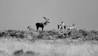 304-leslie-smith-stag-bw