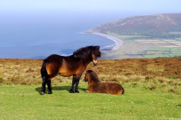 320-croft-house-exmoor-pony-stallion-farleywater-zeus-with-one-of-his-2016-foals-overlooking-porlock-bay-viewed-en-route-to-lynton-lynmouth