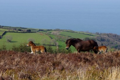 321-croft-house-exmoor-pony-stallion-farleywater-zeus-with-one-of-his-2016-foals-overlooking-porlock-bay-viewed-en-route-to-lynton-lynmouth