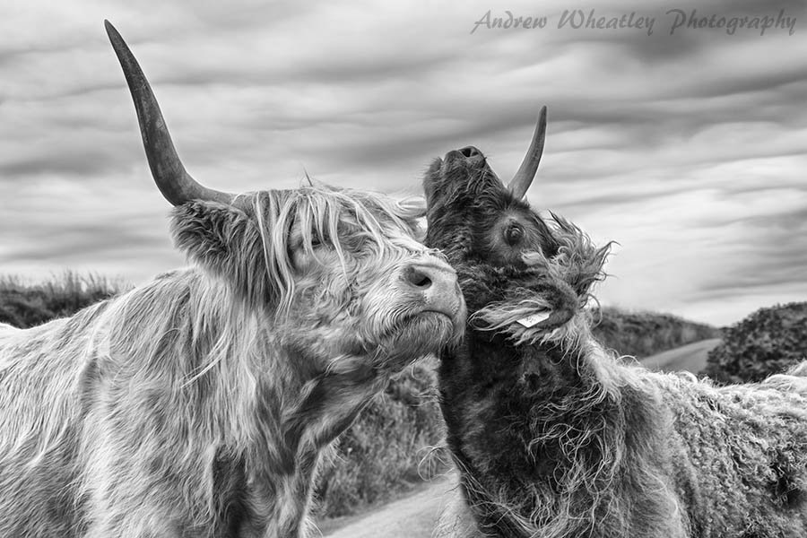 Highland Cattle on Exmoor: Mother and Calf. Photo by Andrew Wheatley