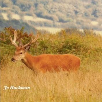 jo-hackman-beautiful-stag-on-exmoor