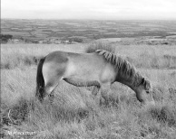 jo-hackman-bw-pony-on-molland-common