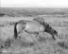 jo-hackman-bw-pony-on-molland-common