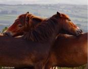 jo-hackman-exmoor-ponies
