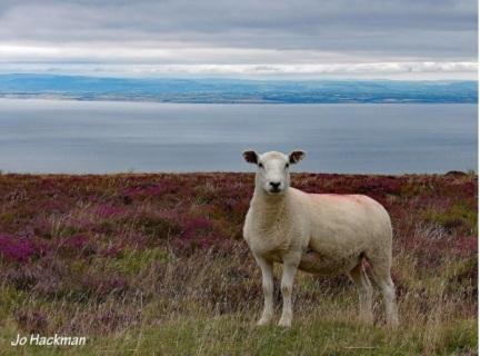 jo-hackman-sheep-on-porlock-hill