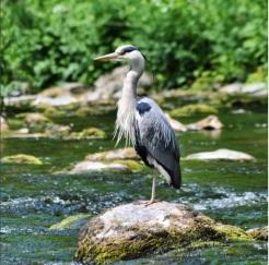 picsbyrap-heron-fishing-off-the-rocks-near-watersmeet