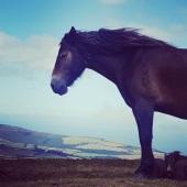 thomhoffman-exmoor-pony-on-porlock-hill