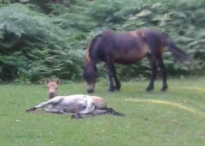 212-mandy-stribling-exmoor-ponies