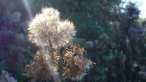 217-bert-bruins-hemp-agrimony-seed-heads-in-glorious-autumn-sunlight-today-near-challacombe
