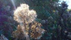 217-bert-bruins-hemp-agrimony-seed-heads-in-glorious-autumn-sunlight-today-near-challacombe