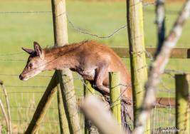 219-simon-dibble-rather-than-attempt-to-jump-over-this-calf-found-a-gap-and-just-went-for-it-near-molland