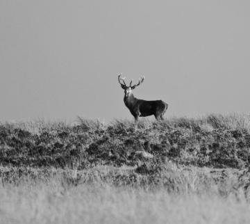 305-leslie-smith-stag-bw