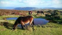 402-jannet-voaden-ponies-overlooking-porlock