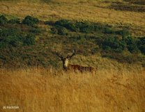 411-jo-hackman-a-handsome-stag-on-exmoor-i-heard-him-before-i-saw-him-then-he-was-gone