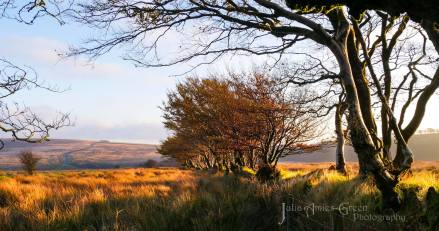 502-julia-amies-green-the-golden-colours-of-the-moor-just-before-sunset-on-saturday