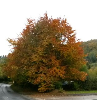 808-roy-harper-lifes-a-beech-a-copper-one-in-the-barle-valley-while-cycling-earlierme-not-the-tree
