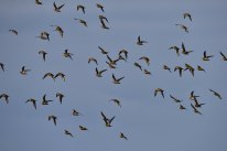 848-jim-gulliford-golden-plover