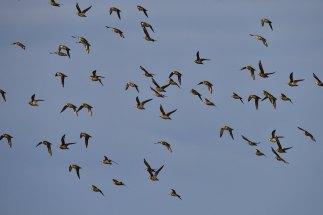 848-jim-gulliford-golden-plover
