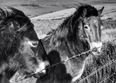 415-linda-thompson-the-beautiful-exmoor-ponies