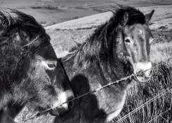 415-linda-thompson-the-beautiful-exmoor-ponies