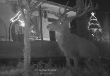 418-jochen-langbein-westcountry-stag-comes-to-view-the-christmas-lights-in-one-lucky-residents-garden