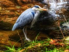 702-linda-thompson-grey-heron-at-watersmeet