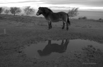706-jochen-langbein-and-another-of-the-reflective-north-hill-pony-at-dawn