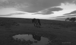 707-jochen-langbein-exmoor-pony-on-north-hill-at-dawn
