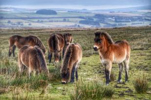 106-linda-thompson-beautiful-exmoor-foals