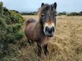 109-beckie-wilde-exmoor-pony