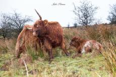 208-julie-thomas-mother-and-baby-highlanders