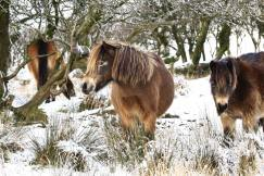 213-lisa-and-jamie-waters-exmoor-ponies-in-the-snow-yesterday-above-chetsford