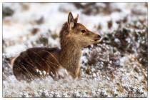 214-liz-mitchell-red-deer-calf-13-1