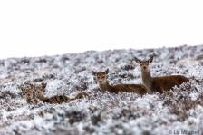 220-liz-mitchell-red-deer-hinds-beautiful-in-snow-this-morning-on-top-of-the-moor