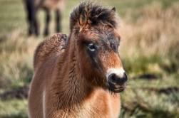 223-linda-thompson-beautiful-exmoor-foal