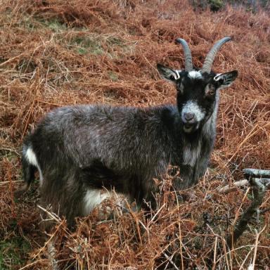308-julie-wilson-lynton-goat