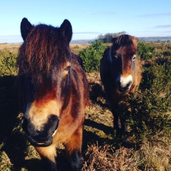 316-julie-wilson-beautiful-exmoor-ponies-on-haddon-hill