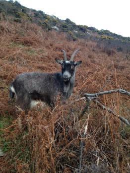 317-julie-wilson-goat