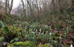 319-leanna-coles-so-good-to-see-the-snowdrops-on-exmoor
