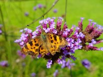 Slightly scruffy Comma butterfly but beautiful!