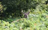 100 Ed Browning Exmoor Red Stag