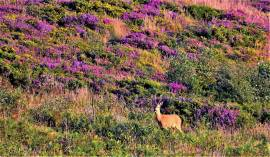 104 Ed Browning A Roe Buck in the heather on Exmoor
