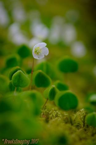109 Michael Brooks Wood Sorrel. Came across a log covered in these tiny but very pretty plants nr. Tarr Steps