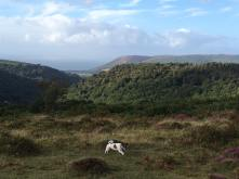 16 Sally Priddy My Molly enjoying the freedom of Exmoor! On the hills above Cloutshsm looking towards PORLOCK Bay:Hurlston Point.