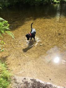 17 Jane Carey Ollie cooling off in the river Barle at Tarr steps.